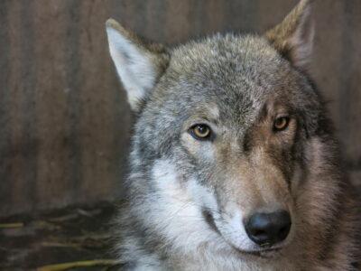 Wolf Iwan Foto: Tierpark Dessau